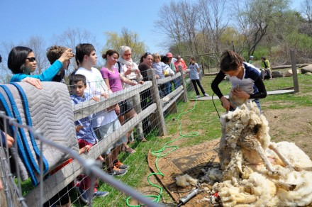 Sheep shearing at Wakeman Town Farm