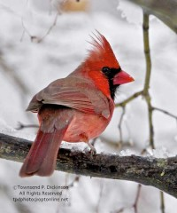Cardinal by Townsend Dickinson