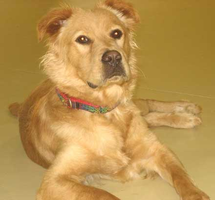 9 month old golden retriever mix Cocoa needs a new home