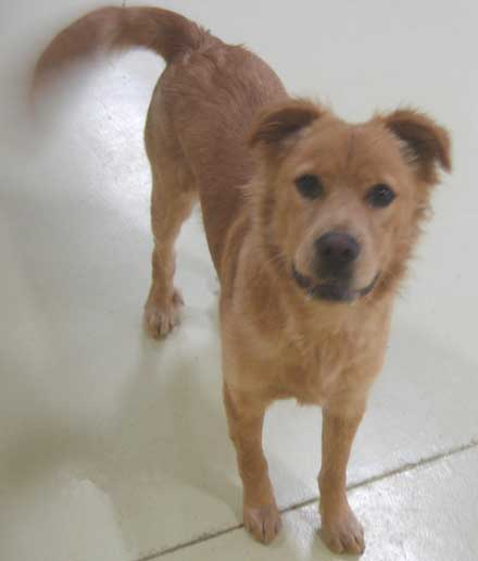 9 month old golden retriever mix Cocoa needs a new home -- a medium size dog