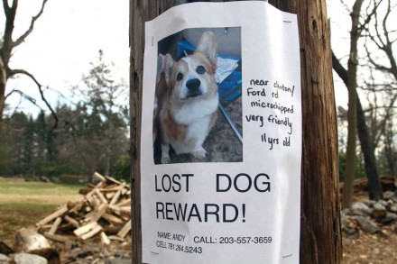 Andy the Corgi is lost, reward for return