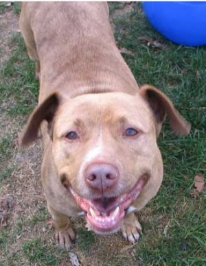 American Pitbull Terrier mix Honey needs a home