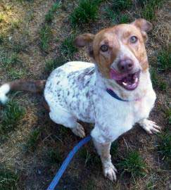 Australian cattle dog mix Lucy needs a family to watch over