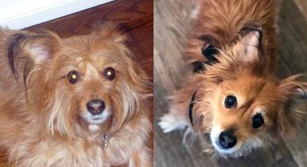 Ruby, terrier mix, missing in Westport, CT.