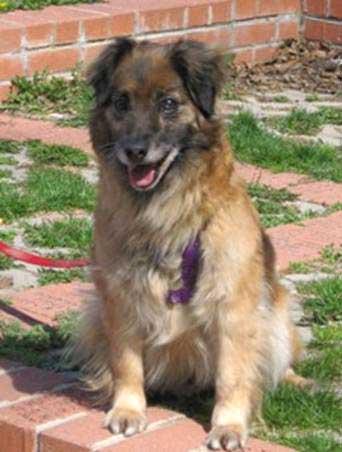 Trixie, a special needs sheltie mix, needs a new home