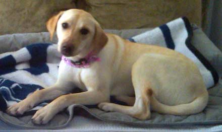 Petite lab mix Allie is looking for a home