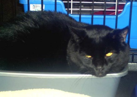 Beautiful black cat Brimley needs a home