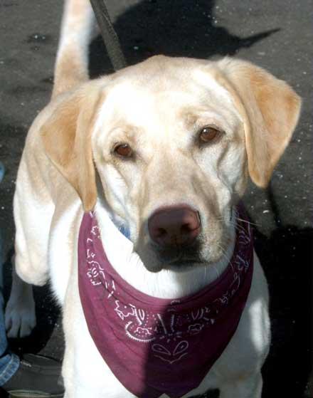 Yellow labrador retriever Colby needs a new home