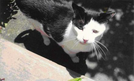 Black and white, declawed cat is lost in Westport
