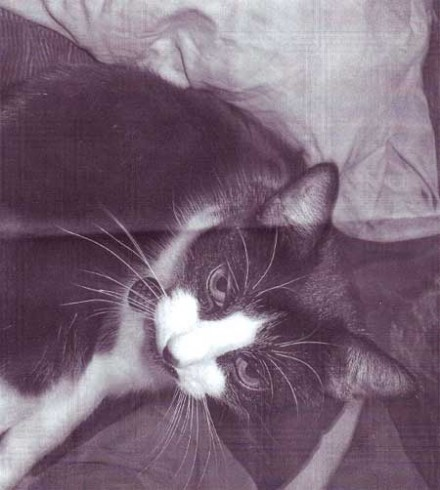 Layla the cat is missing in Westport Connecticut