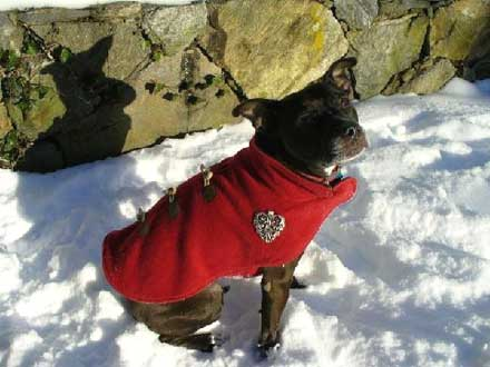 American Staffordshire Terrier mix Loretta is Looking for a forever home