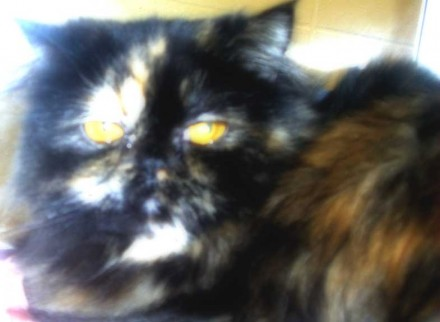 Persian Lucky Day needs a home