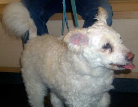 Poodly mix Snow needs a new home