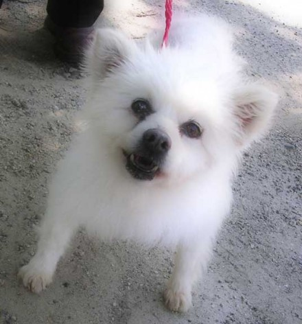 Senior Pomeranian mix Annie needs a home