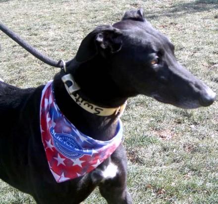 Former racing dog Switch Dance needs a home
