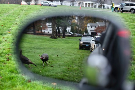 Turkeys join the COVID testing line in Westport, CT, Nov. 12, 2020, by Jaime Bairaktaris