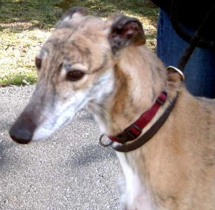 Former racing dog Winter Wind needs a home